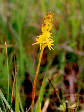 Wildflowers of ireland bog asphodel narthecium ossifragum liliaceae mightylinksfo Images